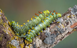 Two Caterpillars In Love Royalty Free Stock Image