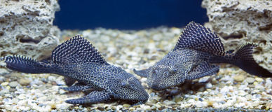 Two catfishes at a pebble bottom Stock Photos
