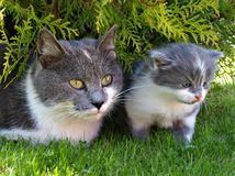 Two cats. Two  grey cats on grass Royalty Free Stock Photography