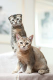 Two cats. Two adorable short haired cats royalty free stock photography