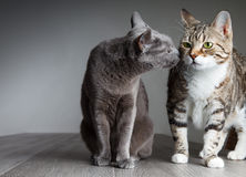 Free Two Cats Royalty Free Stock Image - 26469116
