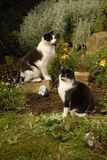 Two cats. Black and White Cats in Garden Stock Photography