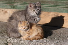 Two cats. Grey & red, big & small Royalty Free Stock Photo