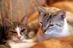 Two cats. Portrait of two lovely cats on a sofa Royalty Free Stock Image