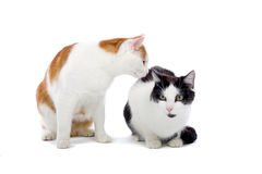 Two cats. Isolated on a white background Royalty Free Stock Photos