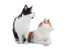 Two cats. Two beautiful cats staring with attentive facial expression to the side. Image isolated on white background Stock Image