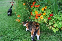 Free Two Cats About To Meet By A Summer Flower Garden Royalty Free Stock Photo - 109579115