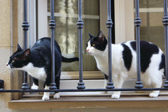 Two cats b. Two black and white cats in a window with sunlight Royalty Free Stock Photo