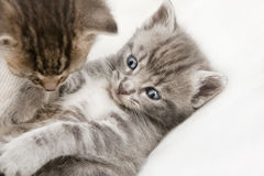 Two cats babies playing. A heap of cat is cuddly babies on their mother Stock Photos