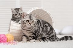 Two cats in a basket with balls of yarn Stock Photography