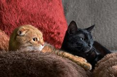 Two cats black and red lie on colorful fluffy pillows Stock Image