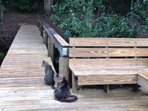 Two Tabby Cats Sitting on a Wood Dock Royalty Free Stock Images