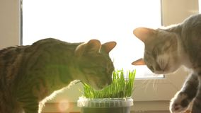 Two cats eat feline grass. Natural vitamins. care for pets. Two cats eat cat grass. Natural vitamins. care for pets close up stock video