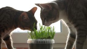 Two cats eat cat grass. Natural vitamins. care for pets close up. Two cats eat feline grass. Natural vitamins. care for pets close up slow mo stock video