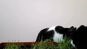 Two cats eat grass grown at home. Fresh vegetation for Pets. Sprouted oats at home.  stock footage