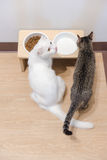 two cats eating dried cat food and milk Royalty Free Stock Image