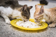 Two cats eating together Royalty Free Stock Image