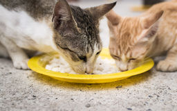 Two cats eating together Stock Photography