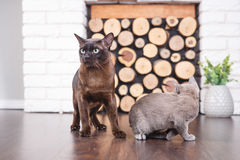 Two cats, father and son cat brown, chocolate brown and grey kitten with big green eyes on the wooden floor on dark background whi. Te brick wall and fireplace stock photography