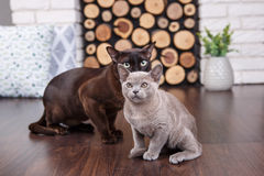 Two cats, father and son cat brown, chocolate brown and grey kitten with big green eyes on the wooden floor on dark background whi. Te brick wall and fireplace royalty free stock photo