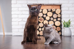 Two cats, father and son cat brown, chocolate brown and grey kitten with big green eyes on the wooden floor on dark background whi. Te brick wall and fireplace royalty free stock photos
