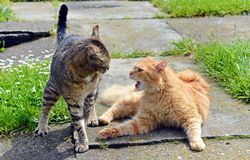 Two cats fighting. Two cats fightin on the garden royalty free stock photography