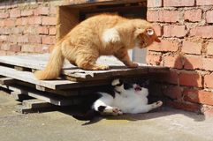 Two cats fighting on the garden Royalty Free Stock Photo
