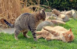 Two cats fighting on the garden Stock Images