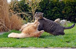 Two cats fighting on the garden Royalty Free Stock Photos