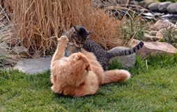 Two cats fighting on the garden Stock Image