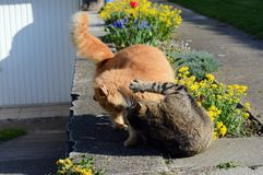 Two cats fighting on the garden Royalty Free Stock Images