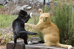 Two Cats Fighting. My two cats, Gracie Biz and Wingnut have a playful fight next to my herb garden.  Wingnut is a 10 year old male tabby cat.  Biz is a one year Royalty Free Stock Photography