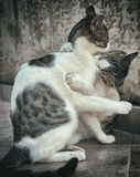 Two cats fighting or playing. Royalty Free Stock Images