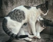 Two cats fighting. Stock Image