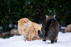 Two cats fighting. On the snowy Royalty Free Stock Images