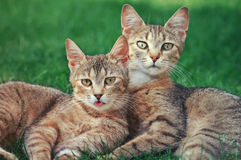 Two cats. In a funny position Royalty Free Stock Image