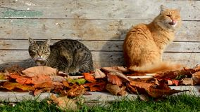 Two cats in the garden in autumn leaves. Cats in the garden in autumn leaves stock video footage