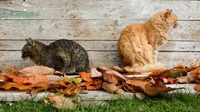 Two cats in the garden in autumn leaves. Cats in the garden in autumn leaves stock footage