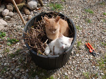 Two Cats in Garden Tub Stock Photography