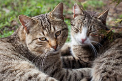 Two cats on the grass. Two cats resting on the grass in the spring Stock Photography