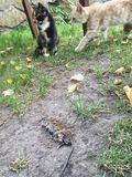 Cats hunted a mouse that is on ground at garden Stock Image