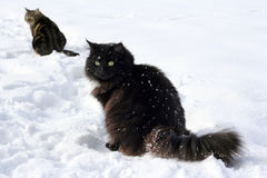 Free Two Cats In The Snow Stock Photography - 23748652