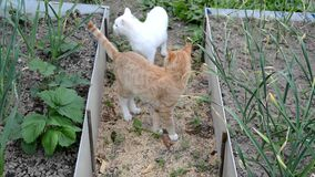 Two cats kissing. Red cat and white cat walking in the suburban area near the flower beds. Cute animals on the street. Video about. Cats. Summer day in the stock video footage