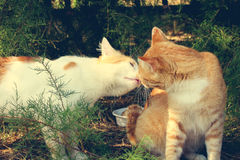 Two cats kissing. Royalty Free Stock Photo
