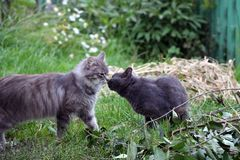 Two cats is kissing royalty free stock photo