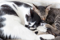 Two Cats kittens sleeping Stock Images