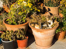 Two cats laying in the flower pot Stock Images