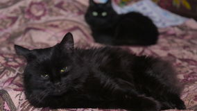 Two cats lie on bed. Turn to camera stock video