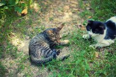 Black and white and striped cats lay on the grass in the yard royalty free stock photo