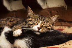 Two cats lie and sleep together Stock Photography